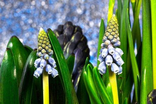 muscari  muscari armeniacum  spring