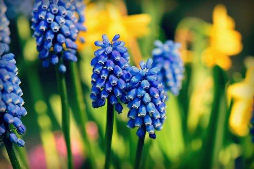 muscari  grape hyacinth  flower