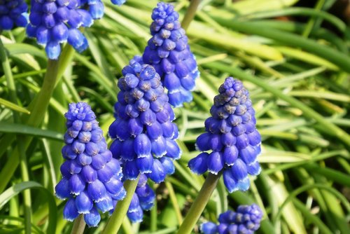 muscari botryoides  plant  flower