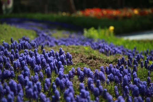 muscat and  hyacinth  wildflower