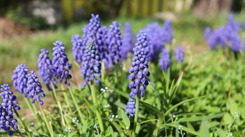 muscat and  grape hyacinth  wildflower