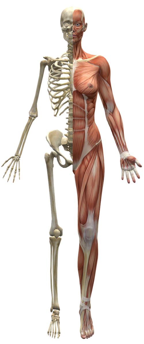 muscles skeleton half body