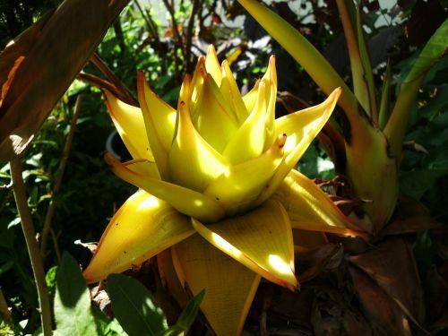 musella lasiocarpa golden lotus banana banana
