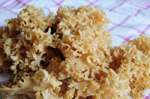 mushroom edible cauliflower mushroom