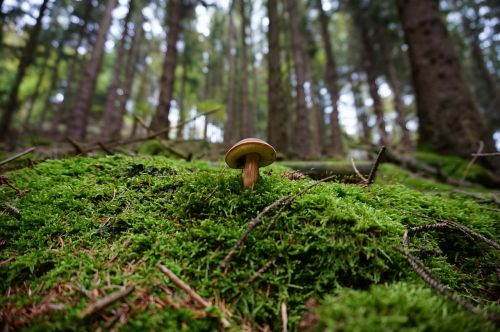 mushroom forest moss