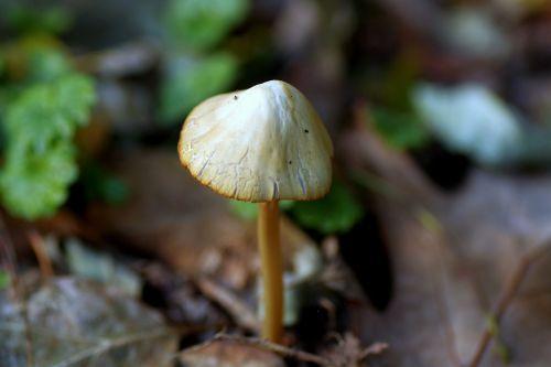 mushroom hat laminar