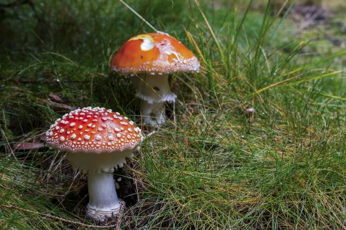 mushroom fly-agaric red mushroom