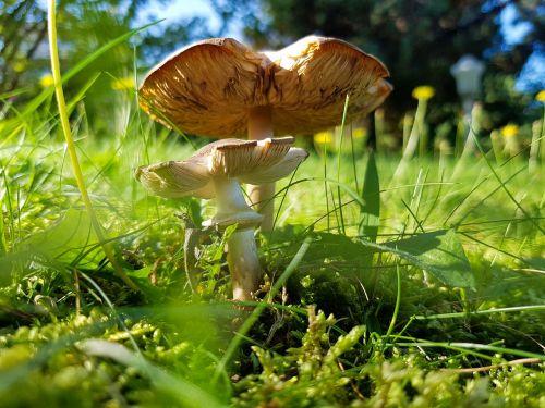 mushroom green terry