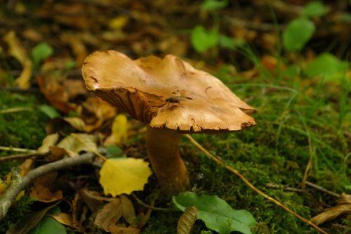 mushroom forest fly