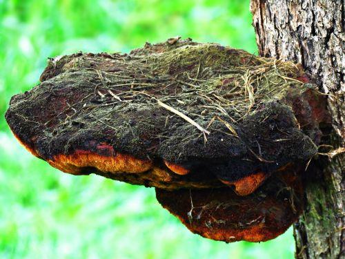 mushroom hub tree