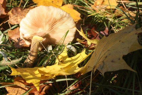 mushroom screen fungus disc fungus