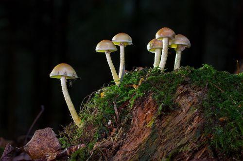 mushroom nameko tree stump