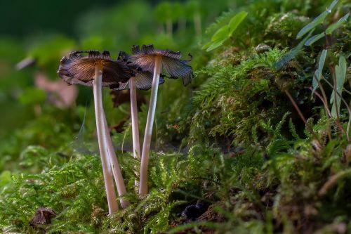 mushroom moss mini mushroom
