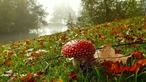 mushroom red fly agaric