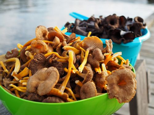 mushroom funnel chanterelles black trumpet mushrooms