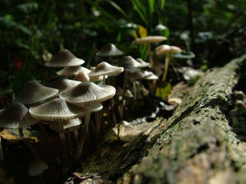 mushroom restored tribe