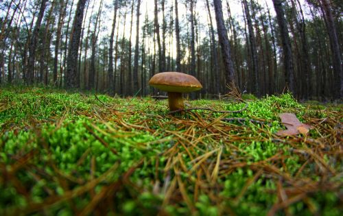 mushroom chestnut boletus forest