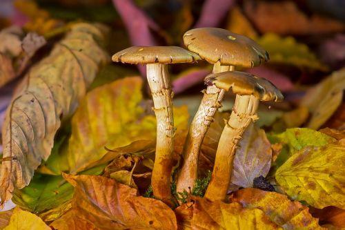 mushroom mushroom group fall foliage