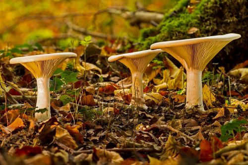 mushroom mushroom group monk's cap