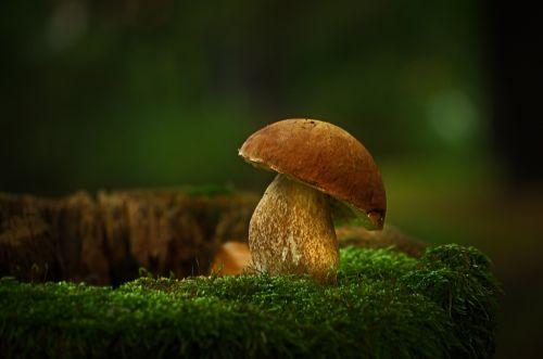 mushroom cep nature