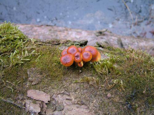 mushroom toadstools fungi