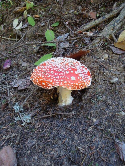 mushroom  fly agaric  autumn