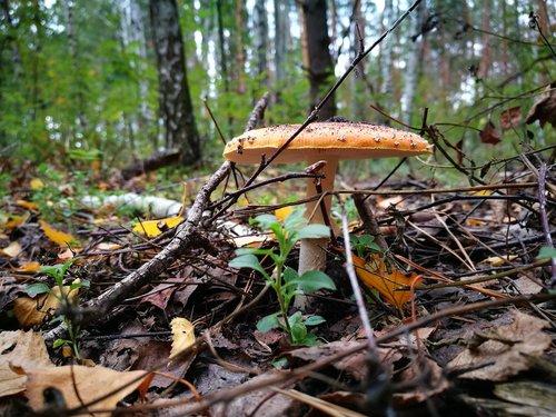 grybų, pobūdį, ruduo, Amanita, ruduo gamta, rudenį miškas, Aukso ruduo