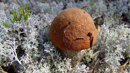 mushroom  orange-cap boletus  autumn