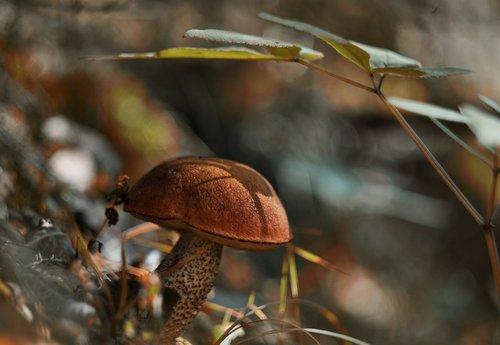 mushroom  autumn  orange-cap boletus
