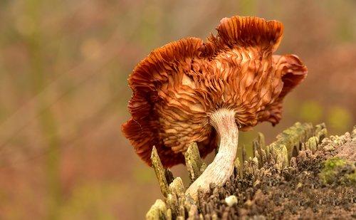 mushroom  tree fungus  lamellar