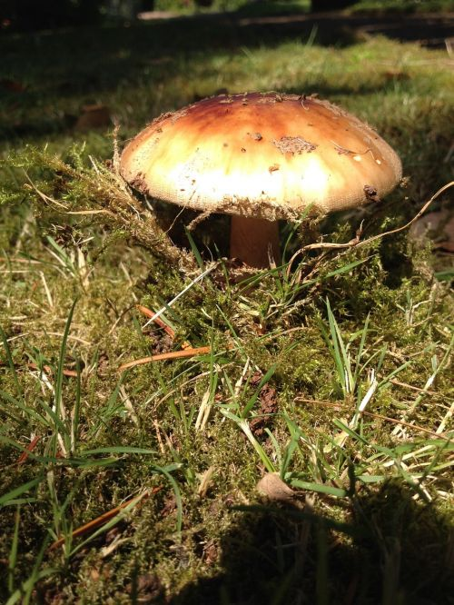 mushroom,moss,nature,forest,forest mushrooms,flora,mushroom hat,brown,forest plant,forest floor,autumn