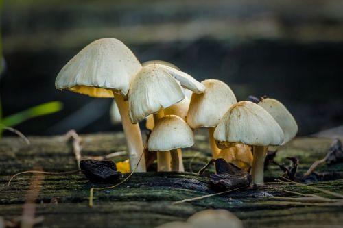 mushroom battery hatter
