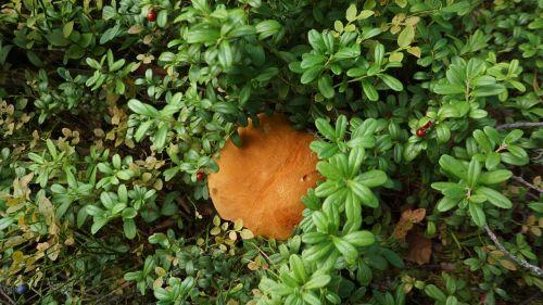 mushroom boletus natural nourishment