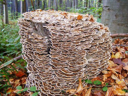 mushroom spunk wood