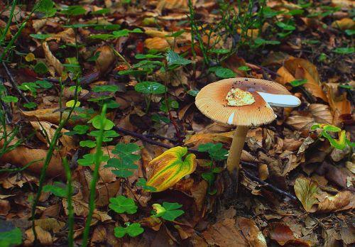 mushroom forest dry leaves
