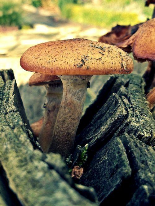 mushroom log wood