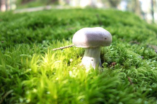 mushroom forest champion