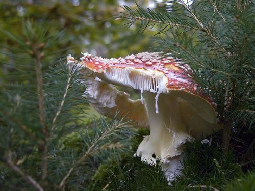 mushroom amanita muscaria poisonous