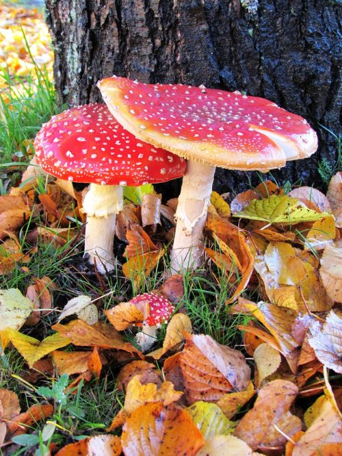 mushroom poisonous red fly agaric