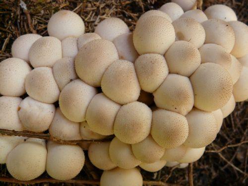 mushroom bovist mushroom dust