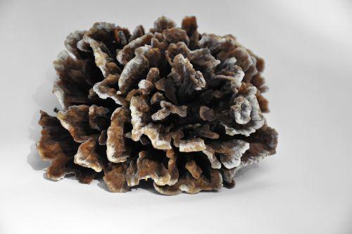 mushroom spunk tinder fungus