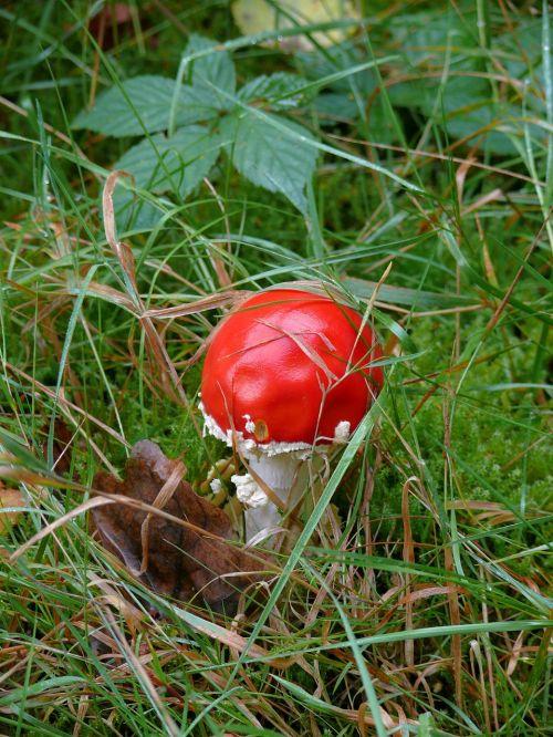 mushroom tree red