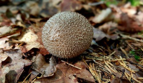 mushroom forest mushroom umbrinum hedgehog russula