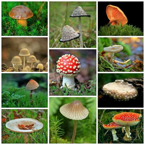 mushrooms collage autumn