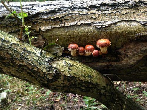 mushrooms log woodland