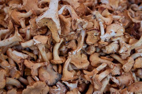 mushrooms eat chanterelles