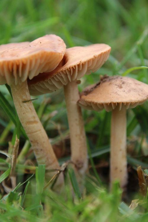 mushrooms rush lamellar