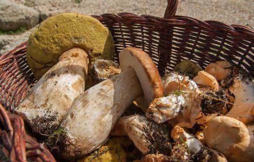 mushrooms ceps sheep's feet