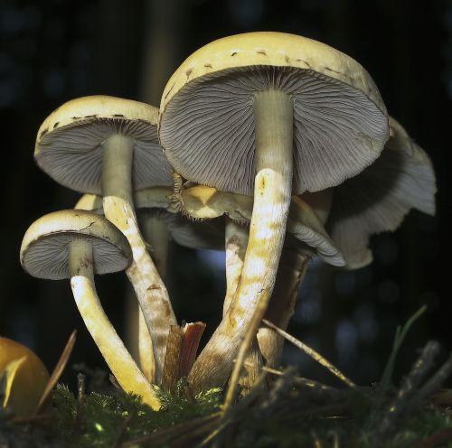 mushrooms lamellar mushroom group