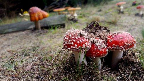 mushrooms  toadstools  amanita